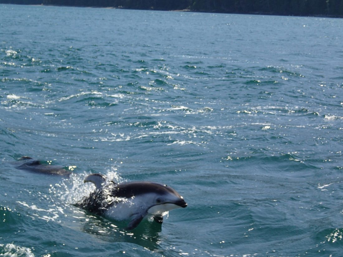 Pacific Whiteside dolphin