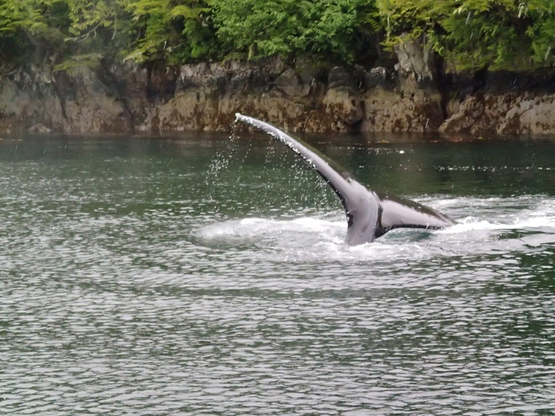 Humpback whales have been abundant in June, with several encounters under 50 feet away!